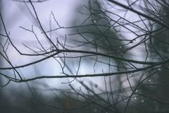 ramas de árbol desnudas de abedul en otoño contra fondo oscuro - VI Fotos de archivo