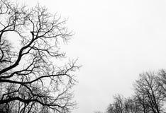Ramas de árbol desnudas en el fondo blanco del cielo Foto de archivo