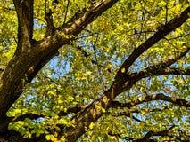 Ramas de árbol en otoño Imágenes de archivo libres de regalías