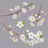 Ramas de árbol florecientes Apenas llovido encendido stock de ilustración