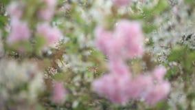 Ramas de árbol florecientes que agitan en el viento almacen de metraje de vídeo