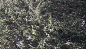 Ramas de árbol grandes que se sacuden en fuerte viento almacen de metraje de vídeo