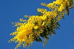 Ramas de árbol de la mimosa en el cielo azul Foto de archivo libre de regalías
