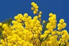 Ramas de árbol de la mimosa en el cielo azul Foto de archivo