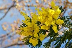 Ramas de árbol de la mimosa en primavera Fotos de archivo libres de regalías