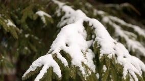 Ramas de árbol de la picea y de pino cubiertas con nieve Día de invierno en bosque nevoso del árbol de abeto, la estación de la N metrajes