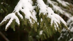Ramas de árbol de la picea y de pino cubiertas con nieve Día de invierno en bosque nevoso del árbol de abeto, la estación de la N almacen de metraje de vídeo