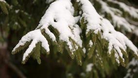 Ramas de árbol de la picea y de pino cubiertas con nieve Día de invierno en bosque nevoso del árbol de abeto, la estación de la N almacen de video