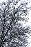 Ramas de árbol nevadas del invierno fotografía de archivo