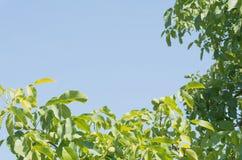 Ramas de árbol de nuez Imágenes de archivo libres de regalías