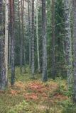 ramas de árbol de pino contra el fondo oscuro - mirada de la película del vintage Imagenes de archivo