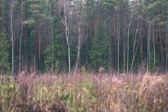 ramas de árbol de pino contra el fondo oscuro - mirada de la película del vintage Fotos de archivo