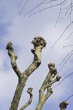 Ramas de árbol plano sobre el cielo azul Platanus Foto de archivo libre de regalías