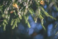 ramas de árbol spruce contra el fondo oscuro - mirada de la película del vintage Fotos de archivo libres de regalías
