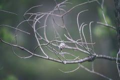ramas de árbol spruce contra el fondo oscuro - mirada de la película del vintage Imagenes de archivo