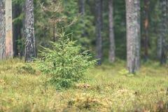 ramas de árbol spruce contra el fondo oscuro - mirada de la película del vintage Fotos de archivo
