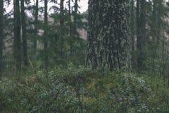 ramas de árbol spruce contra el fondo oscuro - mirada de la película del vintage Imágenes de archivo libres de regalías