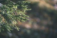ramas de árbol spruce contra el fondo oscuro - mirada de la película del vintage Fotografía de archivo libre de regalías