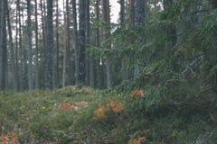 ramas de árbol spruce contra el fondo oscuro - mirada de la película del vintage Foto de archivo libre de regalías