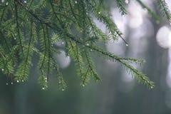 ramas de árbol spruce contra el fondo oscuro - mirada de la película del vintage Foto de archivo