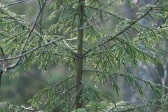 ramas de árbol spruce contra el fondo oscuro - mirada de la película del vintage Imagen de archivo