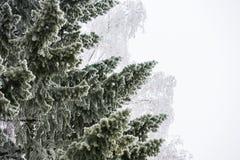Ramas de árbol Spruce cubiertas con escarcha Fotografía de archivo