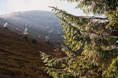Ramas de árbol Spruce del Año Nuevo en luz del sol en la mañana en la montaña Foto de archivo libre de regalías