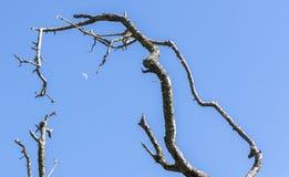 Ramas de árbol de Strainge y una luna cuarta contra un azul brillante Imagenes de archivo