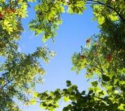 Ramas de árbol superiores en el cielo azul imagen de archivo
