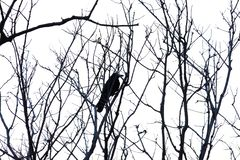 Ramas de árbol tropicales muertas con un solo cuervo que se sienta en el top fotografía de archivo libre de regalías