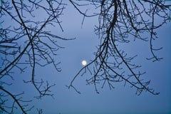 Ramas de árbol vacías contra la perspectiva de la luna con un cielo claro de la tarde en invierno fotografía de archivo libre de regalías