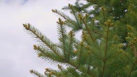 Ramas de árbol verdes de abeto con las agujas, los brotes y el cielo con el espacio vacío para el texto almacen de video