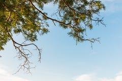 Ramas de árbol verdes de la hoja y de tamarindo Imágenes de archivo libres de regalías