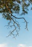 Ramas de árbol verdes de la hoja y de tamarindo Fotos de archivo libres de regalías