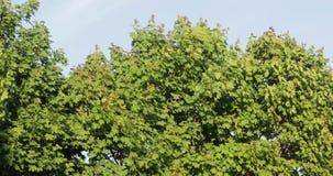Ramas de árbol verdes en el verano contra el cielo metrajes