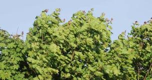 Ramas de árbol verdes en el verano contra el cielo almacen de video