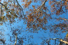 Ramas de árbol vistas de debajo contra el cielo azul Imagen de archivo libre de regalías