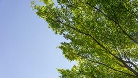 Ramas de árbol y pequeñas hojas verdes Imagenes de archivo