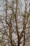 Ramas de árboles Foto de archivo libre de regalías