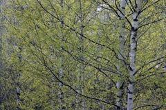 Ramas de abedules con las hojas verdes en primavera Fotografía de archivo libre de regalías