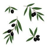 Ramas de aceitunas negras con vector determinado de las hojas del icono verde del aceite libre illustration
