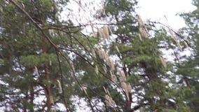 Ramas de Aspen con los pendientes que se sacuden en la primavera del viento en abril metrajes