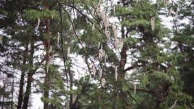 Ramas de Aspen con los pendientes que se sacuden en la primavera del viento en abril almacen de metraje de vídeo