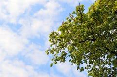 Ramas de castañas contra el cielo Imagen de archivo