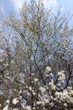 Ramas de cerezos florecientes contra el cielo Fotos de archivo