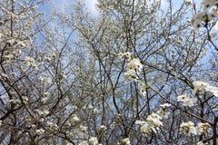 Ramas de cerezos florecientes contra el cielo Foto de archivo libre de regalías