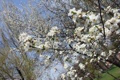 Ramas de cerezos florecientes en primavera Fotos de archivo libres de regalías
