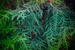 Ramas de Cypress Imágenes de archivo libres de regalías