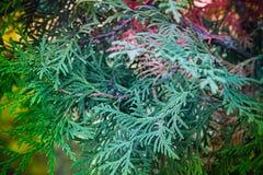 Ramas de Cypress Fotos de archivo