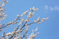 Ramas de florecimiento de árboles contra el cielo imagen de archivo